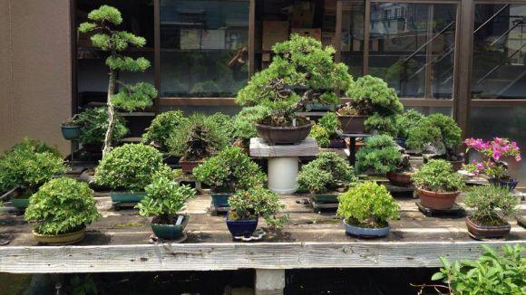 La 2a Mostra de Bonsais i Kusamono torna a Sant Cugat