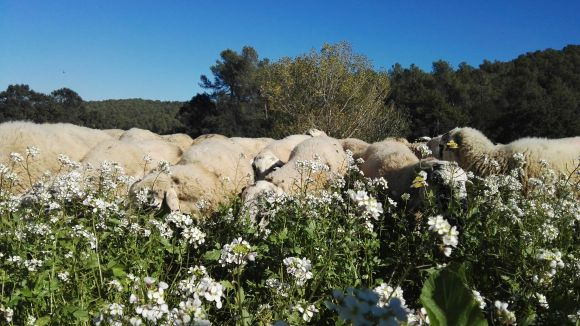 Satisfacció de les pastores pels primers dies del ramat que neteja els boscos de Collserola