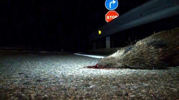 Accident amb un senglar / Foto: ACN