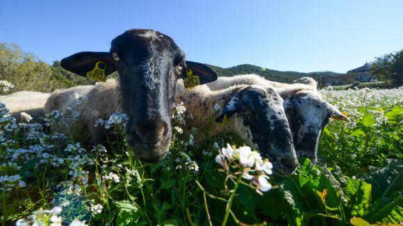 L'Ajuntament prepara les bases del concurs per licitar la pastura de ramats per Collserola