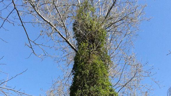 El Mussol alerta del creixement del xuclamel japonès, una espècie invasora, a la riera de Vallvidrera