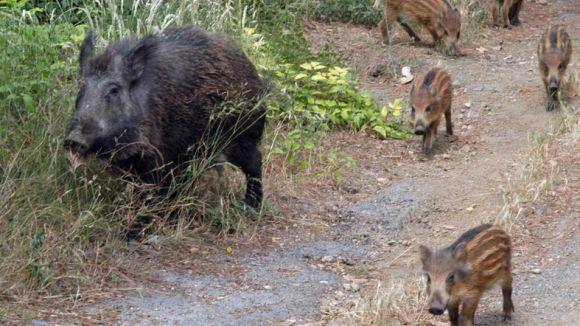 Consells per evitar la intrusió de porcs senglars durant l'estiu