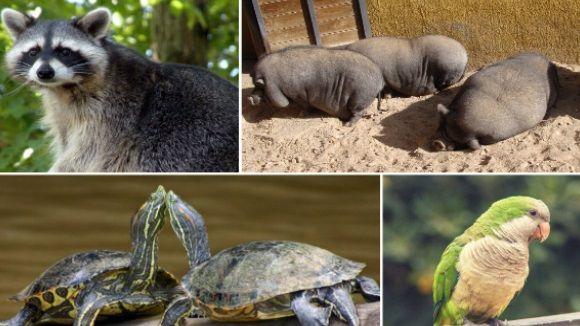 Algunes espècies exòtiques es posen de moda com a mascotes i després les abandonen /Imatge: cc