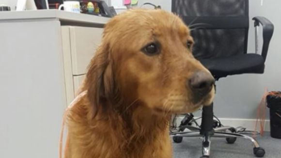 Es busca el propietari d'un gos perdut al polígon de Can Sant Joan