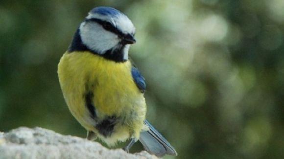 La nidificació de les mallerengues blaves a Collserola, en directe a través d'una webcam