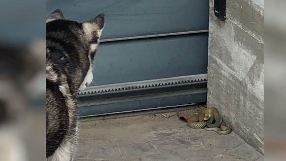 Una serp de grans dimensions apareix al pati d'una casa de Mira-sol