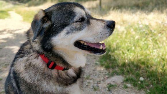 L'apadrinament de gossos és un dels serveis que ofereix El Cau Amic