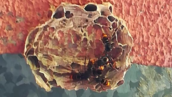 El primer rusc de vespa asiàtica a Collserola es detecta a Valldoreix