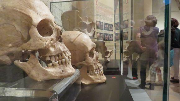 Dos cranis humans que formen part de l'exposició