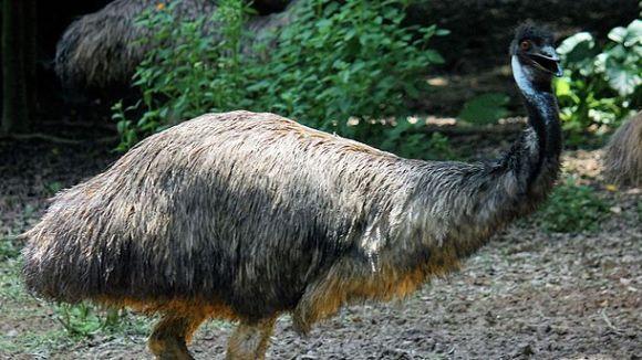 Un emú / Foto: J. Patrick Fischer (CC-by)