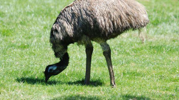 El cas d'aquest dimecres de l'emú ha fet moure fitxa a l'Ajuntament / Foto: Allfreephotos