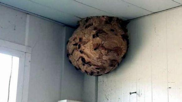 Un niu de vespa asiàtica / Foto: ACN
