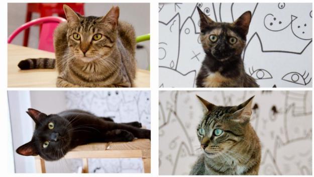 Cheto, Frida, Samy i Kimchi són els gats que encara es poden adoptar / Foto: Cugat Mèdia