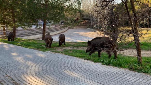 Una família de porcs senglars passeja pel centre de Sant Cugat