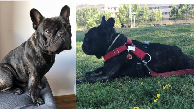 El Bracket, el gos presumptament robat, torna sa i estalvi amb la seva família