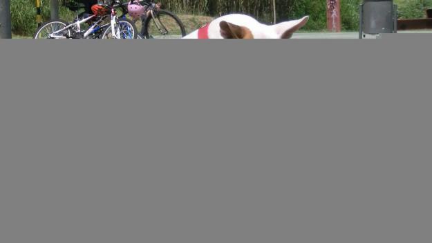 El Nano és el Bull Terrier que té en acollida el Daniel gràcies al Cau Amic / Foto: Daniel Vázquez
