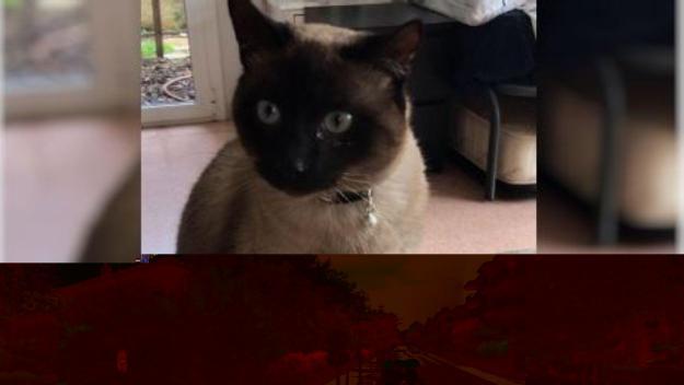 Es busca el Dani, un gat cec perdut per la zona de Mas Gener