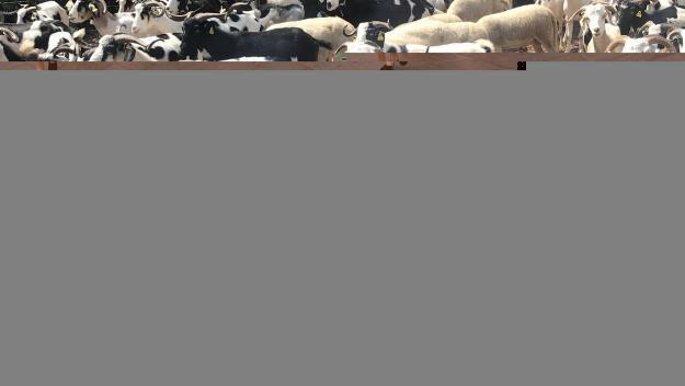 La blanca de Rasquera és una cabra forta i rústica, característiques que la fan perfecta per al Parc de Collserola / Foto: Cugat Mèdia