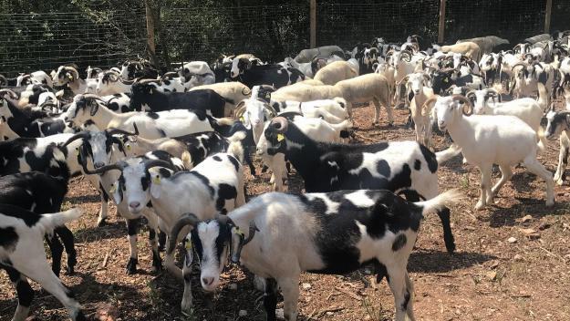 Un ramat de cabres a Collserola / Foto: Cugat Mèdia