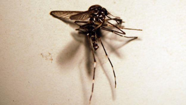 El mosquit tigre / Foto: ACN