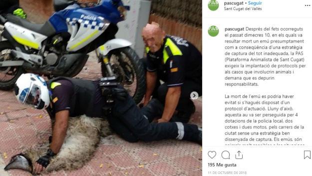 Moment en el que l'Emú va ser capturat per agents de la Policia Local / Foto: Instagram PAS Sant Cugat
