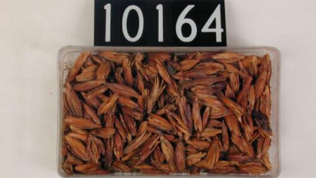 Com era el blat que menjaven els faraons?