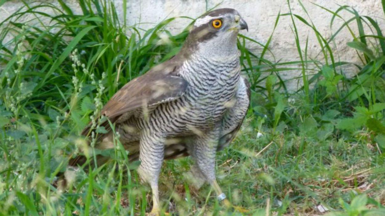 Astor (Accipiter gentilis) / Foto: Centre de Fauna de Torreferrussa