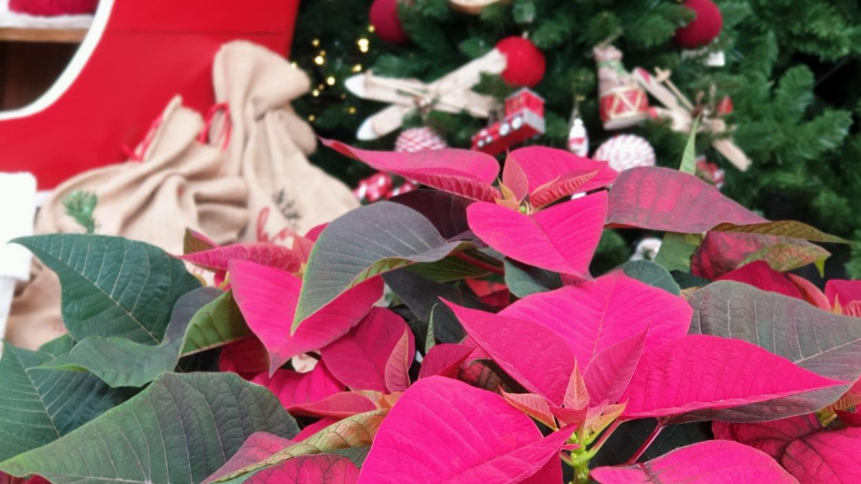 La ponsètia és una de les plantes més buscades per Nadal / Foto: Elia Garden