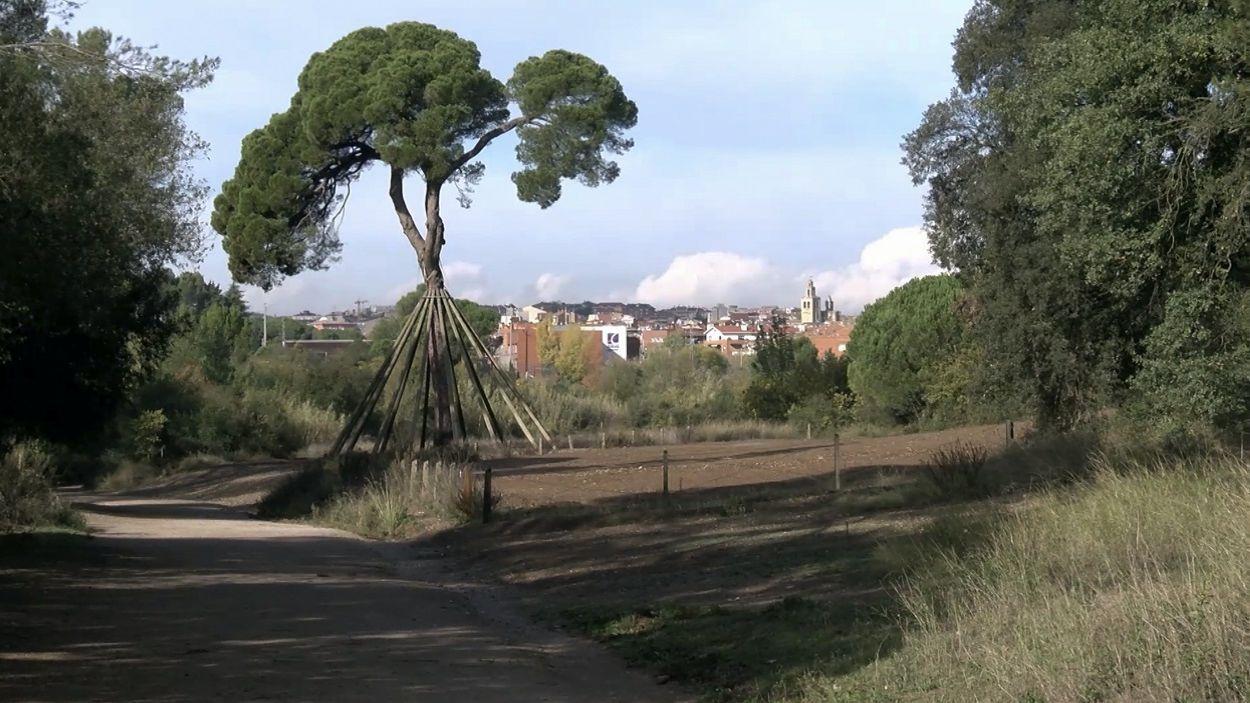 Imatge d'arxiu del Pi d'en Xandri a la zona de Torre Negra / Foto: Cugat Mèdia