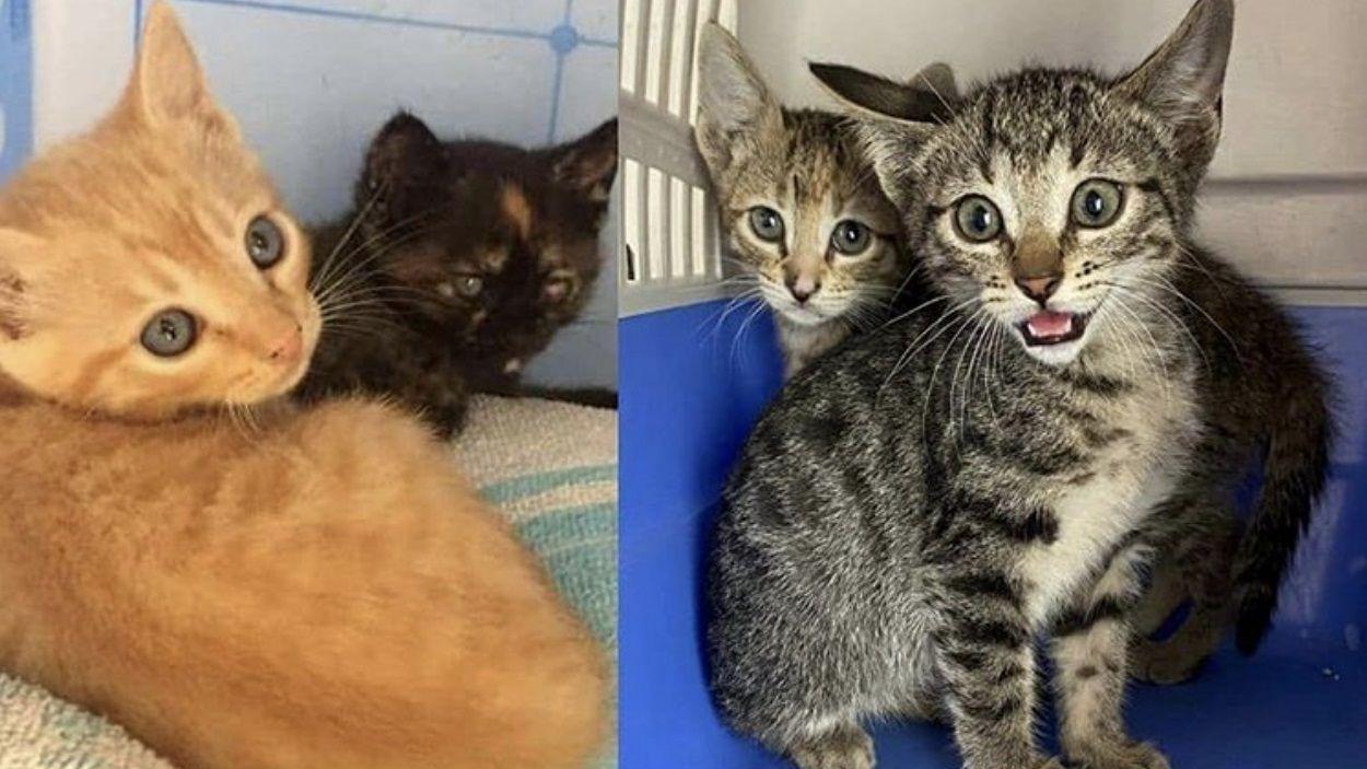 Imatge de gats que la PAS ha hagut d'atendre durant l'estat d'alarma / Foto: Plataforma Animalista de Sant Cugat