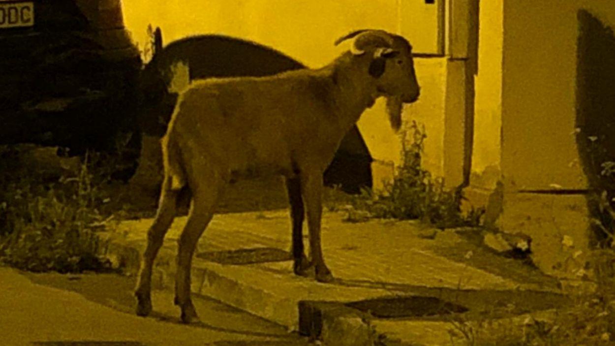 Imatge de la cabra / Foto: Cedida