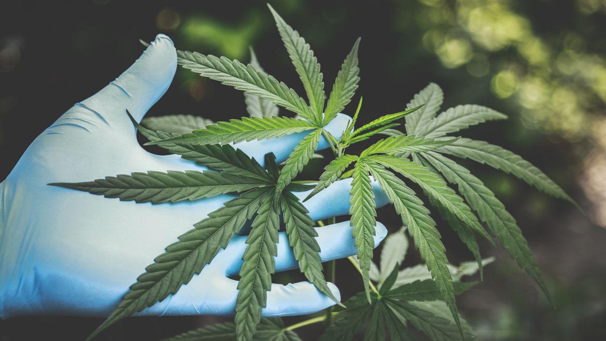 Canamedics té seu a Sant Cugat i preveu plantar 1500 metres quadrats de cànnabis medicinal / Foto: Pexels