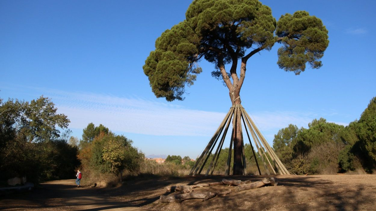 El Pi d'en Xandri al camí de Can Borell / Foto: ACN