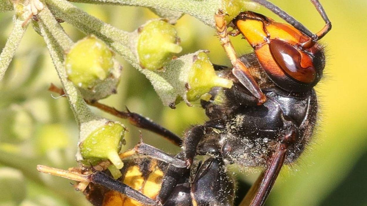 Imatge d'una vespa asiàtica / Foto: SITMUN