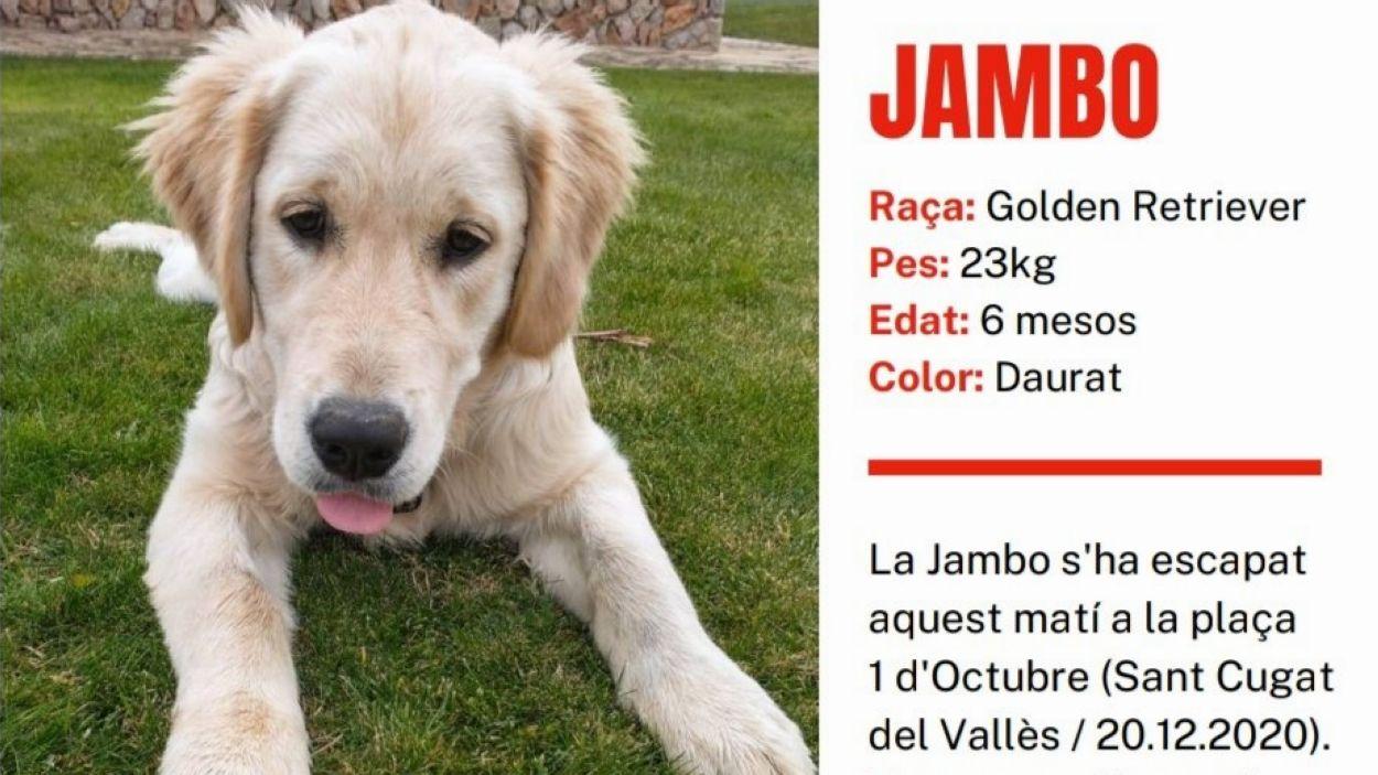 La Jambo és una golden retriever de sis mesos / Foto: Cedida