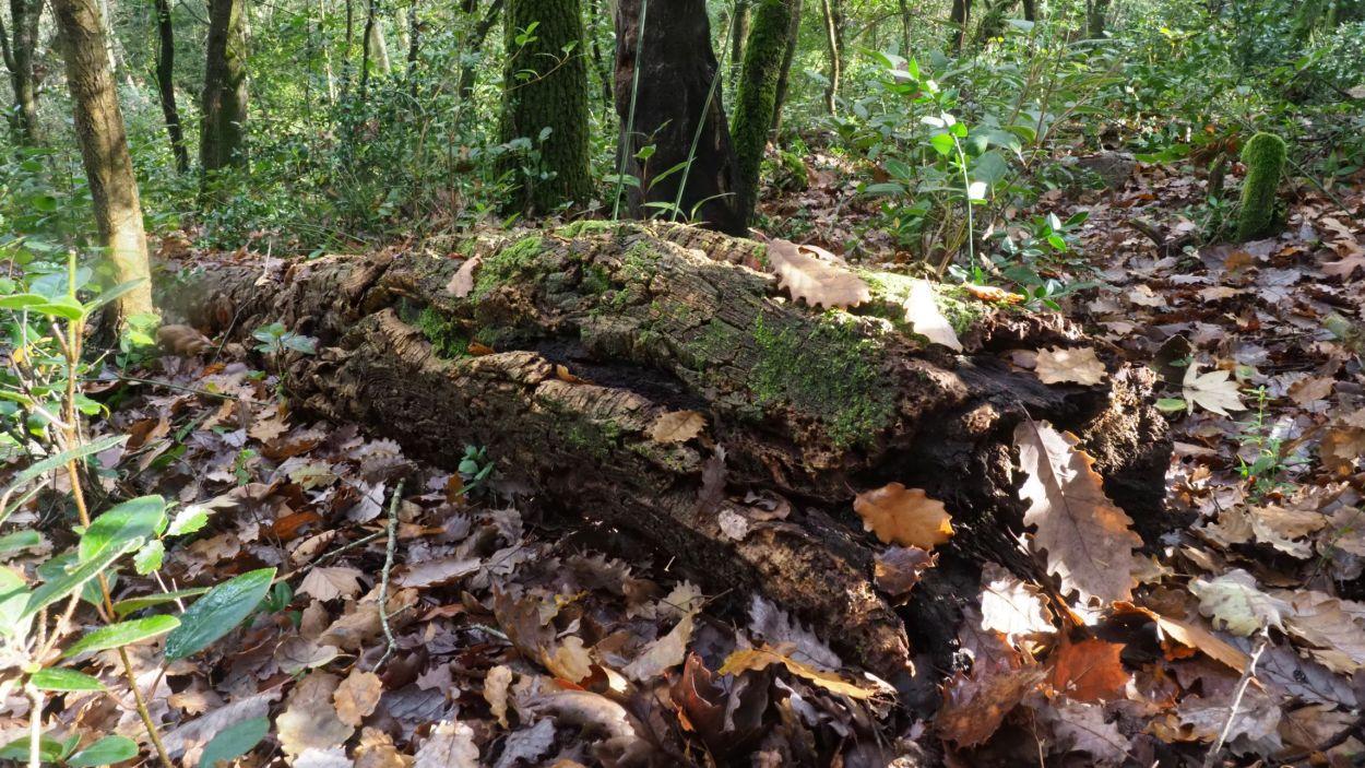 Deixar fusta morta al bosc és una de les actuacions realitzades per fomentar la biodiversitat / Foto: Cedida