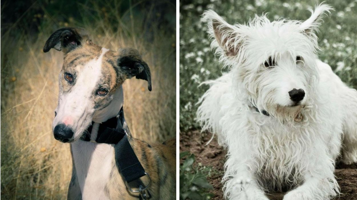 Fotografia d'un gos llebrer i un gos barrejat de podenc/Foto:Cau Amic