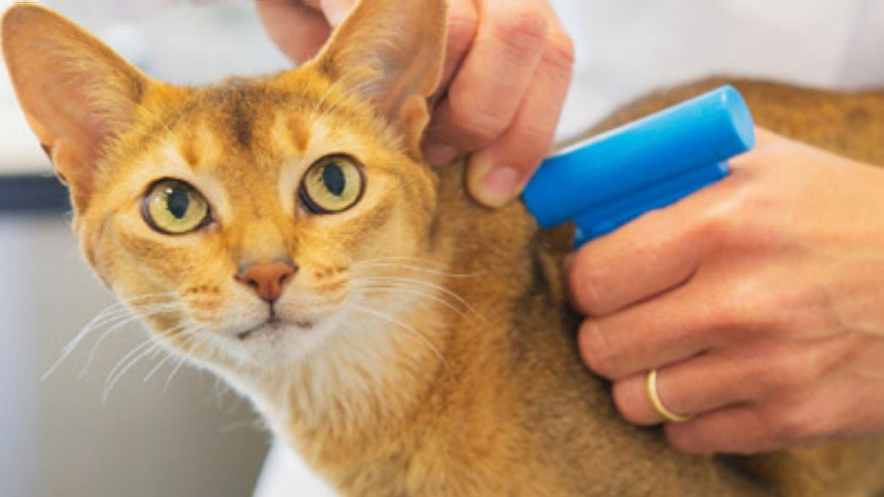 Gat rebent el xip d'identificació obligatori a un veterinari / Foto: Sóc Responsable