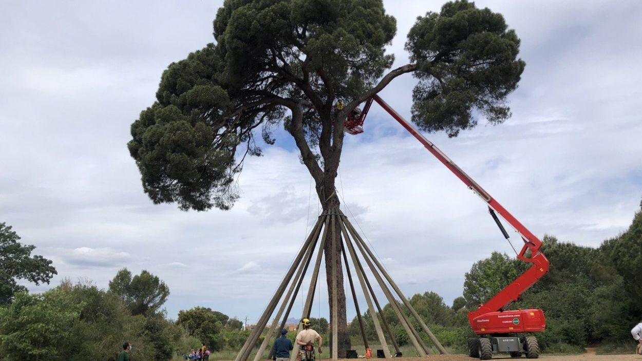 Periòdicament es comprova l'estat del Pi d'en Xandri, també per les parts altes / Foto: Cugat Mèdia