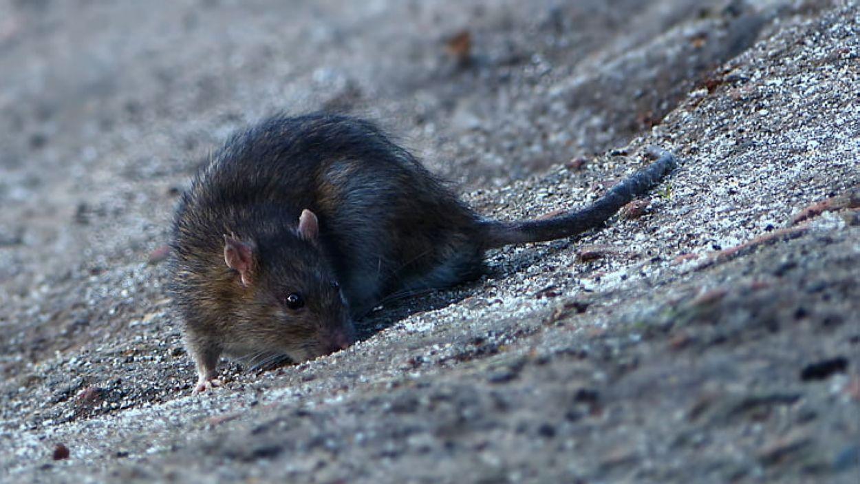 Actuació contra la presència de rates a Can Magí