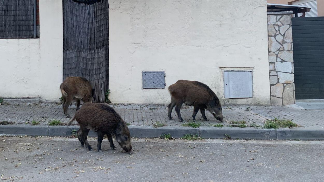 Un grup de senglars a un carrer de La Floresta / Foto: Cugat Mèdia