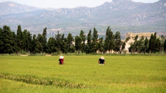El creuament de varietats d'arròs per fer-les més resistents, a 'El Pou'