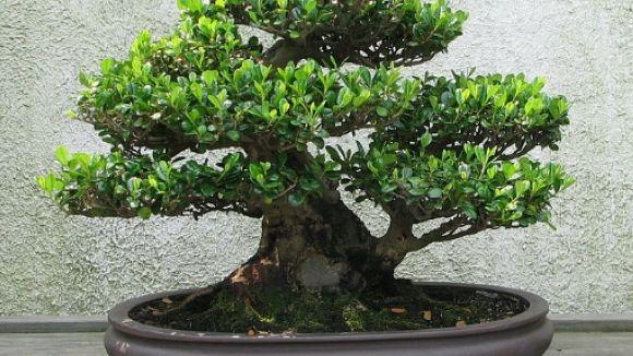 L'art del Bonsai i el Kusamono es planta a la Casa de Cultura