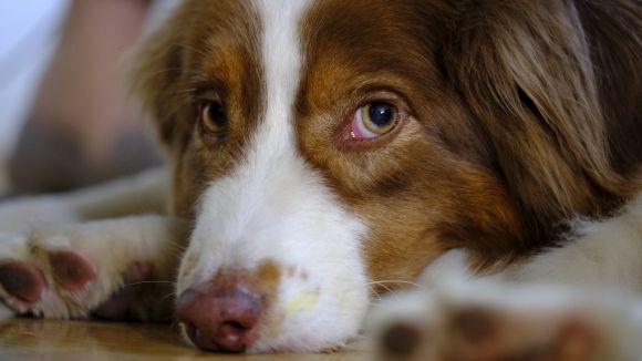 Els gossos pateixen les celebracions amb petards