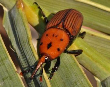 Una plaga d'escarabats de la Polinèsia amenaça les palmeres de Valldoreix