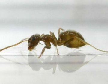 Una formiga invasora provinent de l'Àsia, present a Sant Cugat