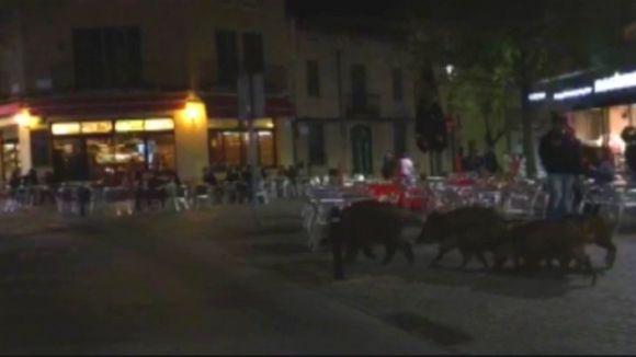 Un vídeo mostra com un grup de porcs senglars passeja per Sant Cugat