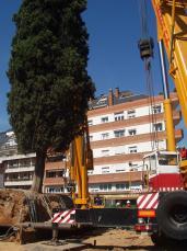 Dues grues de gran tonatge mouen l'arbre amb totes les seves arrels.
