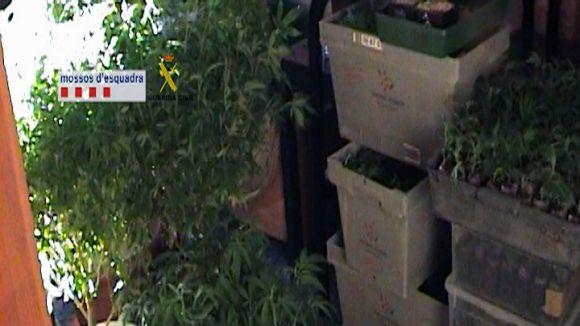 Desmantellat un grup que cultivava marihuana a pisos del Vallès Occidental