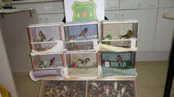 Intervinguts a Sant Cugat 212 ocells fringíl·lids a un traficant